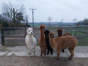 Tiergetützte Pädagogik mit Alpakas